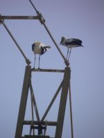 Stock couple storks by Angiepureheart