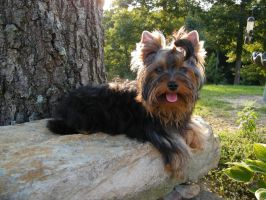 A Smile For You. by Show-us-Yorkies