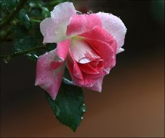 Roses In The Rain.. by Firey-Sunset
