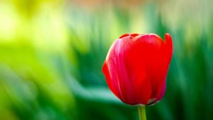 Tulip by housel1984
