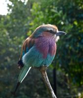 Lilac Breasted Roller by gee231205