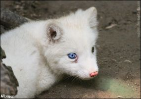 Baby polar fox :3 by woxys
