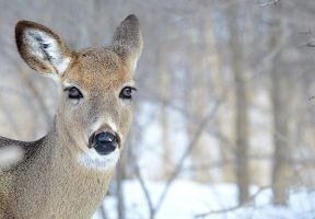 Curious young Virginia deer by GuillaumGibault