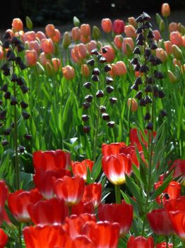 Tulips28 by Otoff
