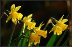 Bells of spring March 2008 by jchanders