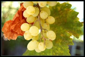 grapes by ForgivenDreamSoul