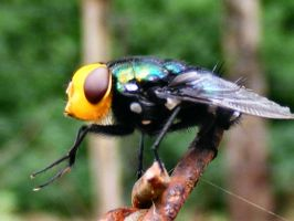 Yellow Faced Fly by Dontheunsane