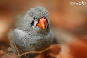 Zebra Finch by amaliabastos