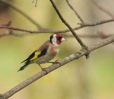 Goldfinch. by Debs-Rain