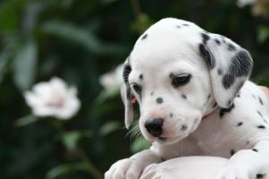 Dalmation Puppy 4 by Smartierocks