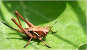 brown grasshopper by Kristinaphoto