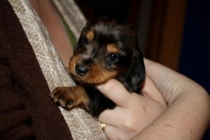 Remus the Dachshund. by Wolfie-83
