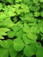 Wood sorrel by Irkaaa
