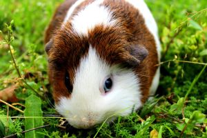 A Guinea Pig, enjoying a nice patch of grass by Puppers1