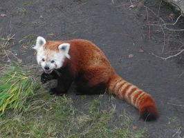 Red panda photo by wildtoele