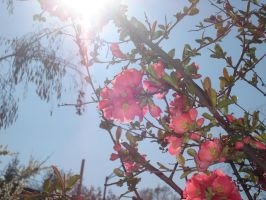 Japanese quince by WolfDemonG
