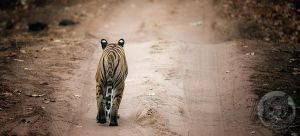 Walking alone... by 00Tiger00