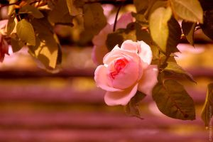 A rosy rose by MDelicata