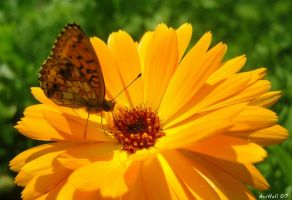 Butterfly by aninur