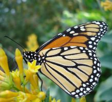 Monarch on Cestrum by duggiehoo