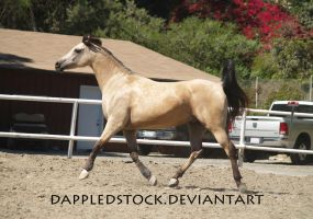 Buckskin Arabian 06 by dappledstock