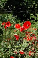 Red Poppies by Miciaila