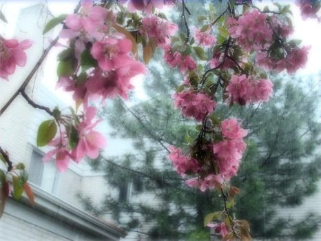 Rain Drop Blossoms 01 by WhispersOfEternity