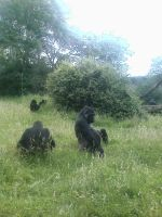 Gorilla Group by Sabrina7777