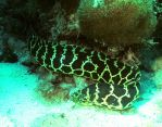 Chain moray by g--f