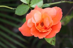 Orange rose 2836 by fa-stock