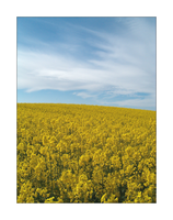 Field of Yellow by electricnet