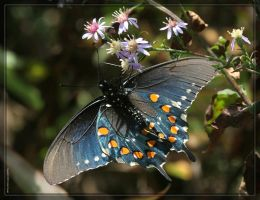 Swallowtail 20D0036306 by Cristian-M