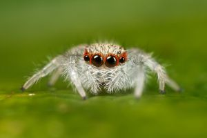 jumping spider 2nd instar by macrojunkie