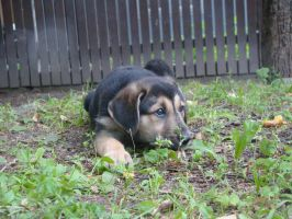 Waif puppy 1 by Panopticon-Stock