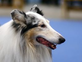 Dog show 6 - Hot collie by TomiTapio