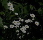 Daisies by transit-auth