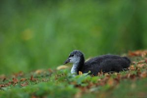 Cootlet 1165 by robbobert