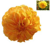 Yellow Dahlia PNG.. by Alz-Stock-and-Art