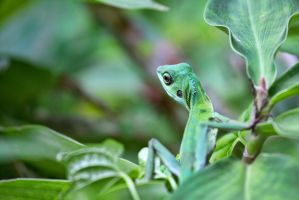 Jungle Lizard - 20140803 - 00019 by TomFawls