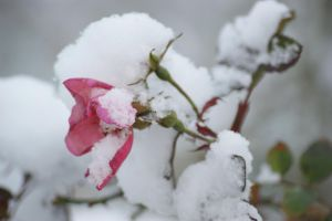 Little white and pink rose by picture-melanie