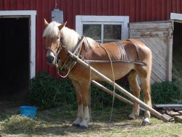 Finnish horse ready to work by Garbuend