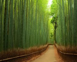 SBasavaRaj forest-bamboo-japan-beautiful nature by sbasavarajireland