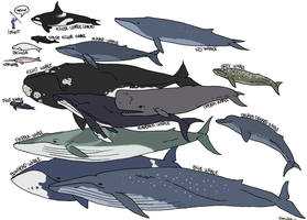 Whale Species by LauraRamirez