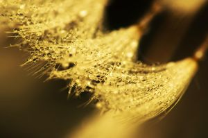 Dandelion Dew - Gold by Nitrok