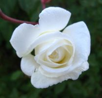 Winter Rose 122014 01 by acurmudgeon