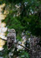 Ural owl2 by mv79