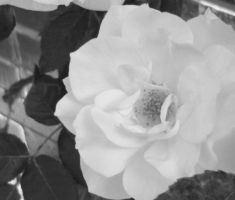 black and white rose by Tash15