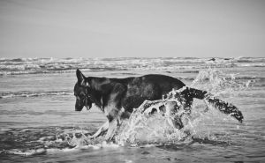 German Shepherd at the Beach (B/W) by petrichore