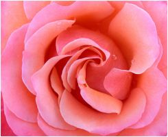 PINK ROSE 2 by THOM-B-FOTO