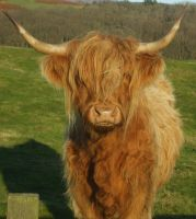 Highland Cow by Flicktoria
